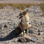 Coyote langs de weg in Death Valley